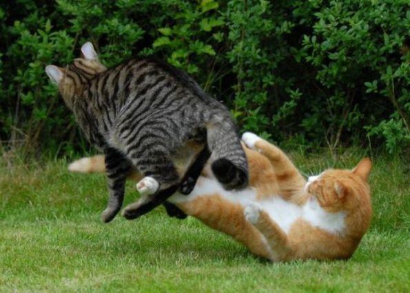 pertarungan-kucing-ninja-berkelahi-1